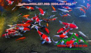 cá Koi bệnh dùng vôi bột